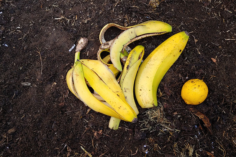 Bananas make for fantastic compost